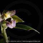 Epipactis à larges feuilles - Epipcatis helleborine