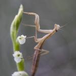 Mante sur une Spiranthe d'été ; summer lady's-tresses and Praying mantis