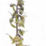 Epipactis violacé - Epipactis purpurata