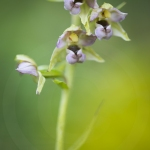 Epipactis à larges feuilles ; broad-leaved helleborine
