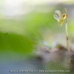 Epipogon sans feuille ; ghost orchid