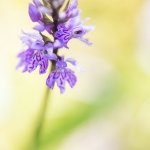 Orchis de Fuchs ; Common spotted orchid