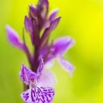 Orchis des Alpes ; Alpine orchid