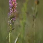 Orchis incarnat