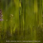 Orchis moustique