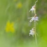 Epipogon sans feuille - Epipogium aphyllum