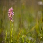 Orchis incarnat (Dactylorhize) - Dactylorhiza incarnata