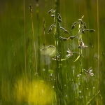 Epipactis des marais - Epipactis palustris