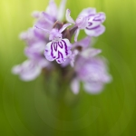 Orchis tachetée (Dactylorhize) - Dactylorhiza maculata