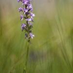 Orchis moustique (Gymnadénie) - Gymnadenia conopsea