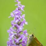 La Sylvaine portant des pollinies sur la trompe sur un Orchis moustique - Ochlodes venatus &  Gymnadenia conopsea