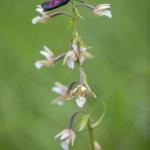 Zygène du mélilot sur un Epipactis des marais - Zygaena viciae & Epipactis palustris