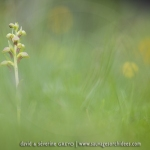 Orchis grenouille ; frog orchid
