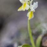 Orchis à peu de fleurs