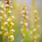 Orchis homme-pendu