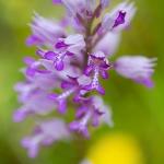 Orchis miliaire