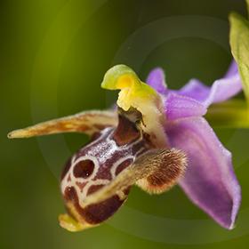 Orchidées de Corfou