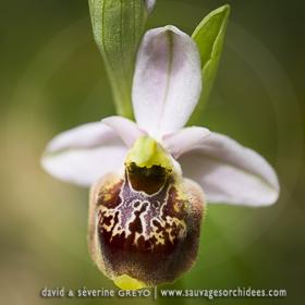 Ophrys fuciflora demangei