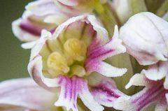 Lusus de Neotinea maculata