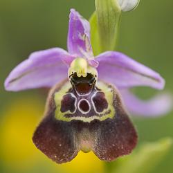 Orchidées de Sicile