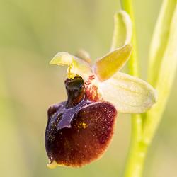Hybride d'Ophrys