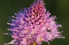L'Orchis globuleux