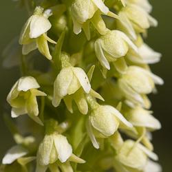 Orchidées de montagne