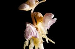 Epipogon sans feuille