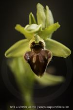 Ophrys classica