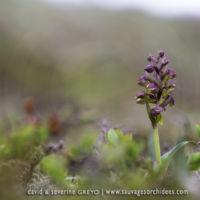 Coeloglossum viride - 20 juin
