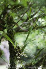 Maxillaria sp. - 9 avril - Saül