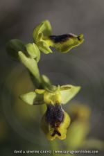 Ophrys sicula