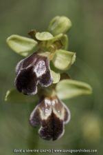 Ophrys vasconica