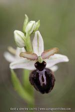 Ophrys aracnitiformis