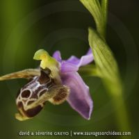 Ophrys crassicornis - 26 avril - Corfou