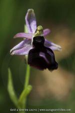 Ophrys ferrum-equinum- 26 avril - Corfou
