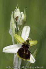Ophrys castellana