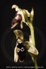 Ophrys reinholdii - 30 avril - Corfou