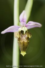 Ophrys picta