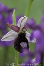 Ophrys benacencis