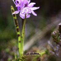 Dactylorhiza ericetorum - 18 juin