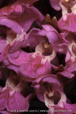 Dactylorhiza purpurella - 19 juin