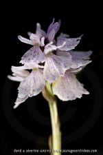 Dactylorhiza maculata ssp. ericetorum - 20 juin